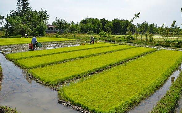 برنج دورود